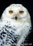 ansichtkaart Sneeuwuil kaart, postcard Snowy owl card, Postkarte Schnee Eule Karte