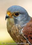 ansichtkaartroofvogels Torenvalk - raptor bird postcard Common Kestrel - Greifvögel postkarte Turmfalke