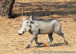 dierenkaarten ansichtkaart dieren Afrika Wrattenzwijn, postcard animals in Africa Warthog, Postkarte Afrika Tiere Warzenschwein