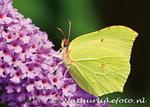 ansichtkaart Citroen vlinder kaart - postcardLemon butterfly - postkarte schmetterling Zitronenfalter