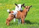 ansichtkaart geiten kaart, animal postcards goats, Tiere postkarte Ziegen