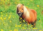 dieren kaarten ansichtkaart Shetlandpony, animal postcards Shetlandpony, Tiere postkarten Shetlandpony