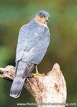 ansichtkaart sperwer kaart - bird postcard Eurasian sparrow hawk - postkarte greifvögel Sperber