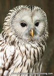 uilen kaarten ansichtkaartOeral uil, owl postcards Ural owl, postkarte Eulen Habichtskauz