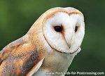 ansichtkaartKerkuil kaart, owl postcards Barn owl, Vögel Postkarte Eule Schleiereule