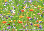 ansichtkaart wilde bloemen kaart - wild flowers postcard - Postkarte Wilde Blumen