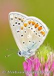 Vlinder kaarten, ansichtkaart Icarusblauwtje - butterfly postcardCommon blue - postkarte schmetterling Hauhechel Bl&#x0