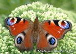 ansichtkaart Dagpauwoog kaart - butterfly postcardsEuropean Peacock - postkarte schmetterling Tagpfauenauge