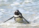 dierenkaarten Afrika Zwartvoetpinguïn, Africa animal African penguin Jackass penguin, Postkarte Pinguin