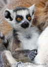 ansichtkaart Ringstaartmaki kaart, animal postcards Ring tailed Lemur, Tiere Postkarten Ring tailed Lemur