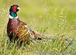ansichtkaarten wilde dieren Fazant, wild animal postcard Common pheasant, Wilde Tiere Postkarte Fasan