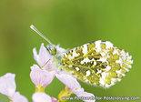 Vlinder kaarten, vlinderkaart Oranjetipje - Orange tip butterfly postcard - Schmetterling Postkarte  Aurorafalter