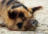 ansichtkaart varken kaart, pig postcard, Postkarte Schwein