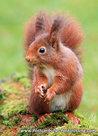 dierenkaart eekhoorn, wild animal postcard Red squirrel, Postkarten Wilde Tiere Eichhörnchen