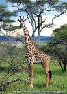 dierenkaarten Afrika Masai Giraffe, Animal postcard Africa Masai Giraffe, Afrika Tier Postkarte Masai Giraffe