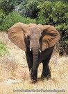 Kaart Olifant, Afrikaanse olifant, animal postcard African elephant, Afrika Tier Postkarte Afrikanische Elefant