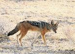 dierenkaarten Afrika Zadeljakhals, Black backed jackal postcard, Postkarte Tiere Afrika Schabrackenschakal