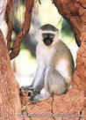 dierenkaarten Afrika Groene meerkat , animal postcard Vervet monkey, Postkarte Afrika Tiere Südliche Grünmeerkatz