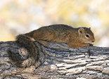 dierenkaarten Afrika boomeekhoorn , animal postcard Africa tree squirrel, Postkarte Afrika Tiere Baumhörnchen