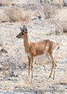 Ansichtkaart Steenbok antilope, Steenbok postcard, Steinböckchen Postkarte