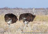 Ansichtkaart Struisvogels, Common ostrich postcard, Afrikanischer Strauß Postkarte