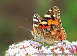 AnsichtkaartAtlantavlinder, Vanessa atalantabutterfly, Postkarte AdmiralSchmetterling