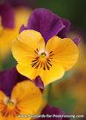 viooltje kaart - viola postcard - blumen Postkarten Veilchen
