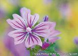 ansichtkaart Groot kaasjeskruid kaart - flower postcards Malva sylvestris - Blume Postkarte Wilde Malve