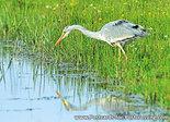 ansichtkaart Blauwe reiger kaart, bird postcards Grey heron, postkarte vögel Graureiher