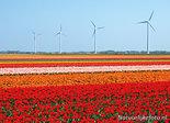 ansichtkaart tulpenveld met windmolens