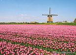 ansichtkaart Berkmeermolen met tulpenveld, mill postcard, Mühle Postkarte