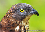 ansichtkaart Wespendief - raptor bird postcard European honey buzzard - greifvogel postkarte Wespenbussard