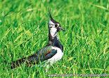 vogelkaarten, ansichtkaarten vogels kievit, bird postcard Northern lapwing, postkarte vogel Kiebitz