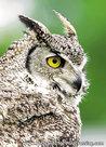 Uilenkaarten ansichtkaartvogel Canadese oehoe, owl postcards Canadian owl, postkarte Eulen Kanadische Eule