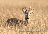 dierenkaarten, ansichtkaarten dieren ree,  animals postcard deer, Tier Reh Postkarte