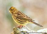 Vogelkaart Geelgors, Bird postcard Yellowhammer, Vögel Postkarte Goldammer