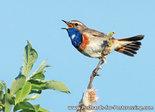 Vogel kaart ansichtkaart Blauwborst - bird postcard Bluethroat, Vögel Postkarte Blaukehlchen