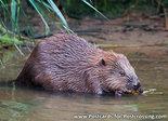 dierenkaarten ansichtkaart dieren bever Biesbosch, animal postcard Eurasian beaver, Tier Postkarte Biber