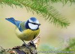 ansichtkaart vogelkaart Pimpelmees, bird postcards Eurasian blue tit , Postkarte Vögel Blaumeise