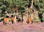 ansichtkaarten dieren Edelherten kaart, animal postcard Red deer, Tierpostkarte Rotwild