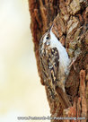 ansichtkaart Boomkruiper kaart, bird postcard Short-toed treecreeper, Waldvögel postkarte Gartenbaumläufer