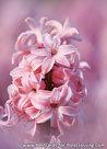 Ansichtkaart Hyacint kaart, Hyacinthus orientalispostcard, Postkarte Gartenhyazinthe