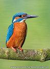 IJsvogel-op-een-takje-(0533)