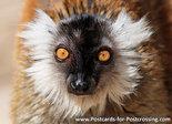 Ansichtkaart Moormaki kaart, Black lemur postcard, Postkarte Mohren maki