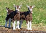 dieren kaarten ansichtkaart geiten, animal postcards goats, Tiere postkarten Ziegen