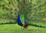 pauw kaarten, bird postcard peacock, Vogel postkarten Pfau