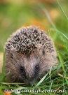 Egel kaart, ansichtkaart egel, postcard Hedgehog card, Postkarte Igel Karte