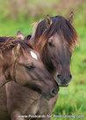 Konik paarden kaart