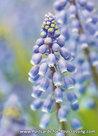Blauwe-druifjes-(0570)