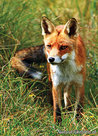 ansichtkaart vos, fox postcard, Postkarte Fuchs